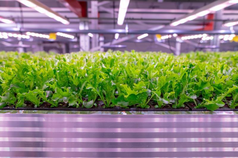 【新闻图片】应用飞利浦LED生长灯本地生产、周年供应新鲜沙拉生菜-4.jpg